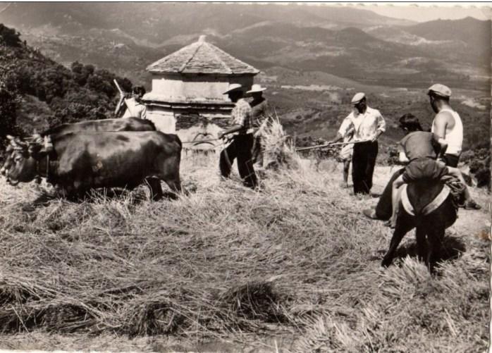 TRIBIERA-battage du blé en corse.jpg