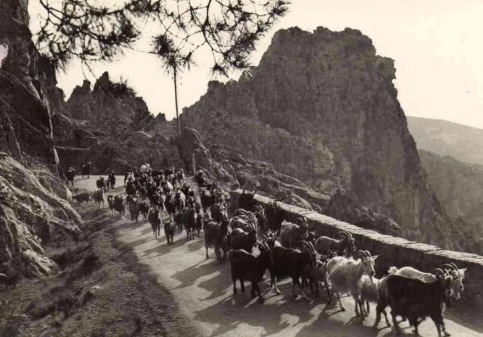 Troupeau de chèvres dans les Calanques de Piana